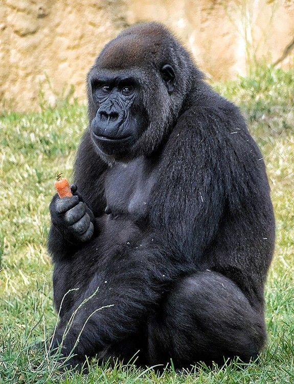 """gorila da montanha  - amosos depois do filme """"Nas montanhas dos gorilas"""", estrelado por Sigourney Weaver, os gorilas podem deixar de existir na próxima década. Existem apenas 720 animais vivendo nas florestas da África, e outros 200 no Parque Nacional de Virunga, a maior área de preservação desta espécie. Em muitas partes da África, os gorilas são caçados porque partes do seu corpo são consideradas medicinais."""