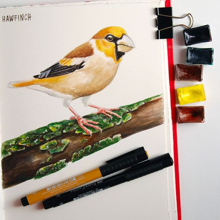 Hawfinch painted in watercolors and Faber Castell Pitt pens in my sketchbook, available in my #Sosiety6shop https://society6.com/katerinamitkova #Society6 #fabercastell #fabercastellpitt #indiaink #pittartistpen #brushpen  #art #watercolor #watercolour #sennelier #birdartist #animalartist #animalart #bullfinch #animaldrawing #bird #birddrawing #ink #wildlife #katerinakart #creativeanimalart #art_we_inspire #sketchbook #sketchbookartist