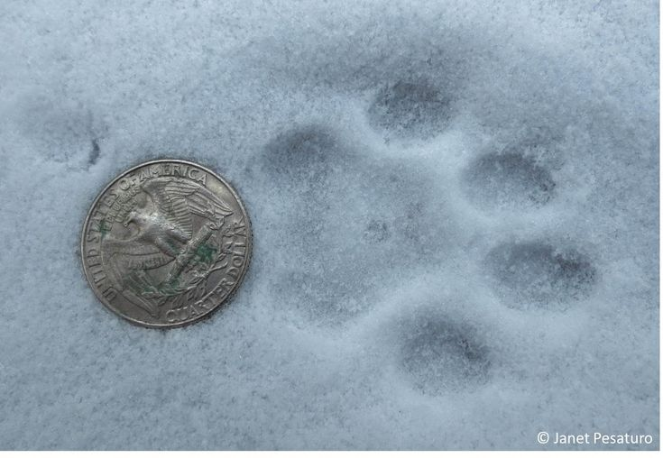 """The Art of Tracking"" Clear bobcat tracks like this one are always exciting to find."