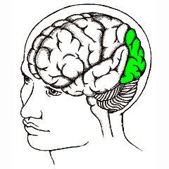 shows the location of the occipital lobe