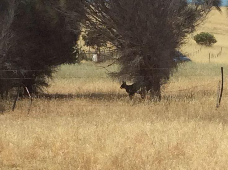 """How wild it was, to let it be."" —Cheryl Strayed, Wild Kangaroo on Kangaroo Island Australia"