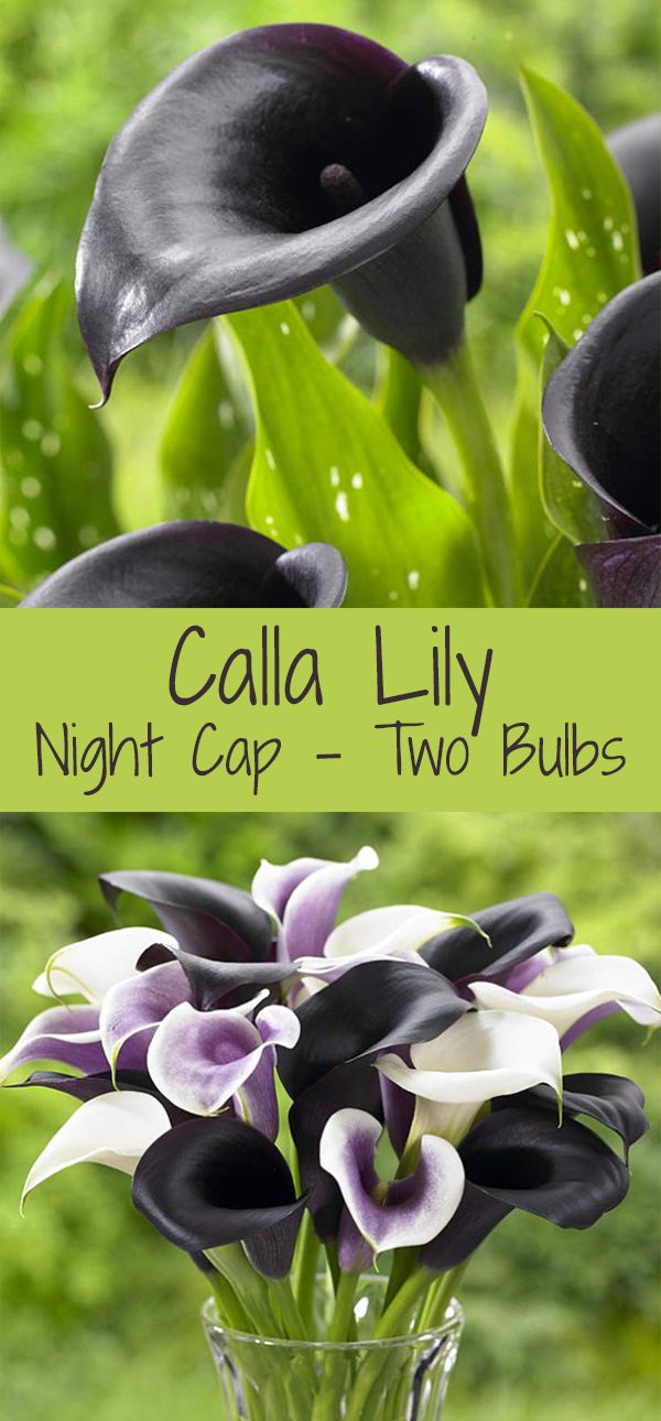 Calla Lily Bulbs unique black flowers, great for container gardening, cut flowers, add drama to your garden #ad