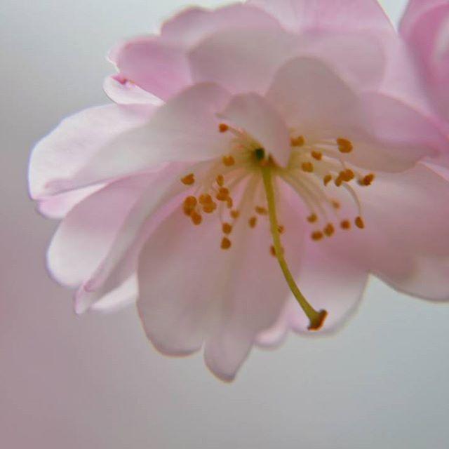 【shingo_427】さんのInstagramをピンしています。 《. 春が待ち遠しい(単に出しそびれ…)第二弾 過去フォトです なんとか谷で撮影した 枝垂れ紅桜 みんなが見飽きる前に先行ポスト . 桜の季節も待ち遠しいですね〜 今年もメジロとのコラボ 通称サクジロー撮りたいです その前に梅ジローや桃ジローも…ね(≧▽≦) . shot on LUMIX FZ1000 #lumixlife #コンデジら部 Panasonic lumix DMC-FZ1000 . #桜#cherrytree#cherryblossoms#春#flower#spring#お写ん歩#カメラ散歩倶楽部#ゆるりIGくらぶ#Pink#ピンク#sakura#マクロ#macro#クローズアップ#closeup#佐世保#sasebo#枝垂れ桜#はなまっぷ#カコフォト#自由って素晴らしい #写真好きな人と繋がりたい#カメラ好きな人と繋がりたい#春よ来い . .》