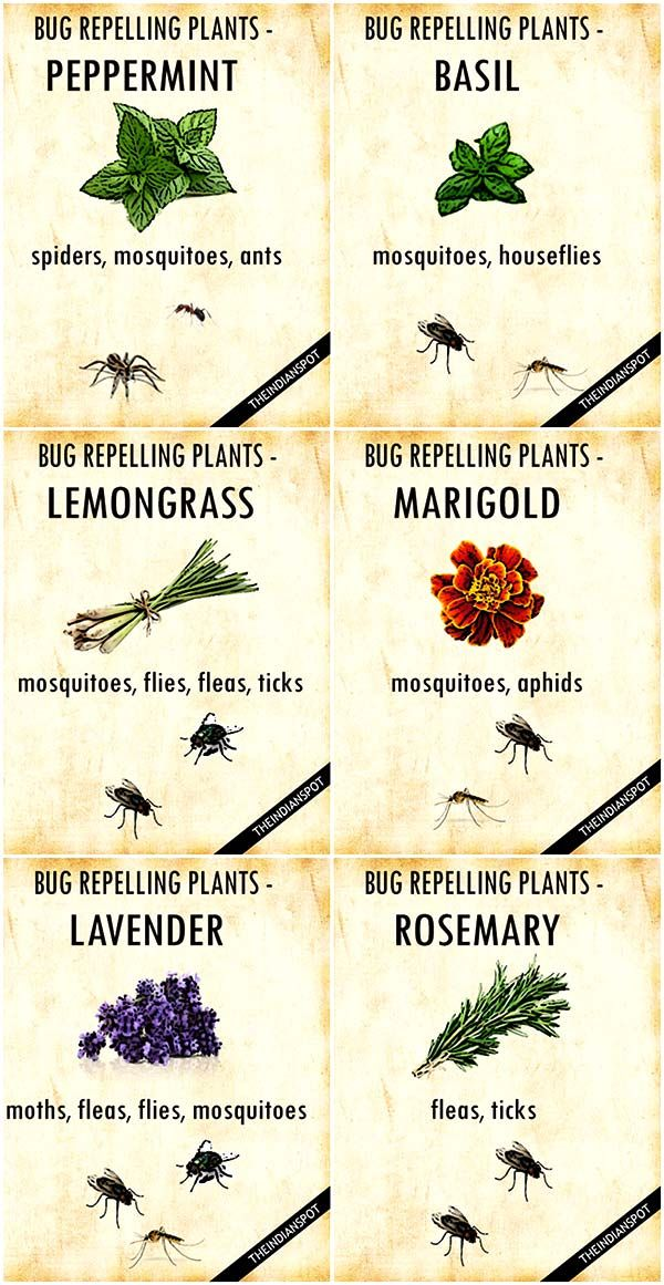 Plants That Keep Bugs Away Mosquito Repelling Plants Plants