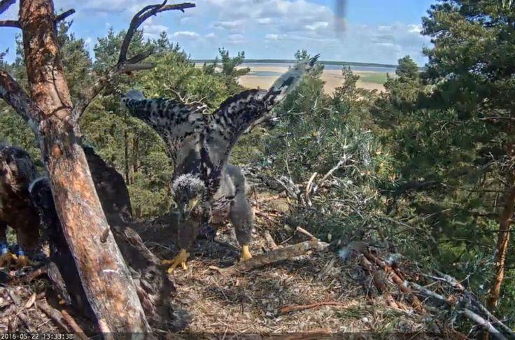 Young eagle, mladý orel mořský