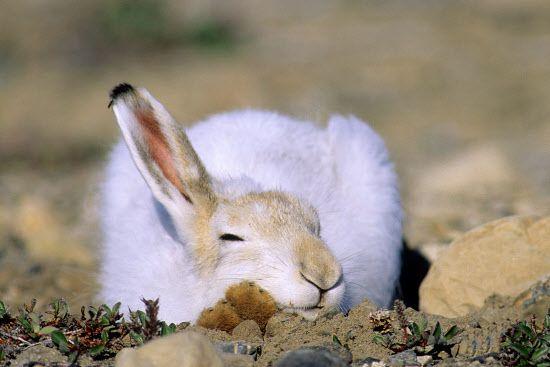 Snoozing arctic hare (Lepus arcticus) in summer pelage, Ellesmere Island, Nunavut, High Arctic Canada...Wayne Lynch