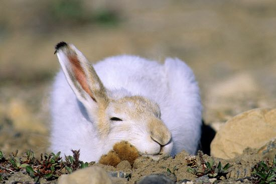 Snoozing arctic hare (Lepus arcticus) in summer pelage, Ellesmere Island, Nunavut, High Arctic Canada: Wayne Lynch, Canada: Arctic & Antarctic photographs, pictures & images from Bryan & Cherry Alexander Photography.