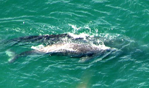 What Kind of Whales are Found on Oregon Coast: Details, Photos