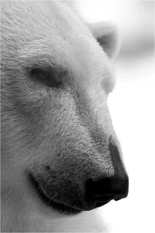 Photographe en noir et blanc, ours polaire.