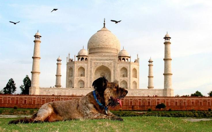 Oscar at the Taj Mahal