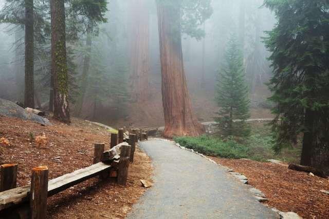 sequoia forest in fog California