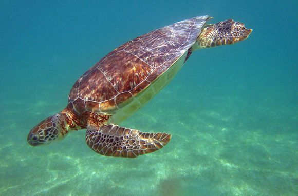 """Akumal, Quintana Roo, Mexico - In Akumal, or """"Place of the turtles,"""" green and loggerhead sea turtles make the calm Caribbean bay their home year-round. This year alone, more than 30,000 hatchlings have been released by volunteers and visitors of Akumal's ecological center. Snorkel out from the palm-lined white sandy beach to see the graceful swimmers—some as big as semitruck wheels—and hear them munch on sea grass."""