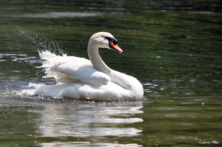 white swan ...