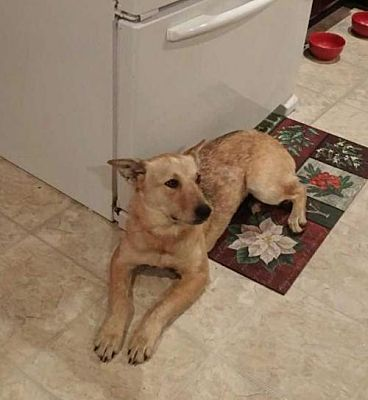 Pictures of Harper a Cattle Dog for adoption in Hagerstown, MD who needs a loving home.