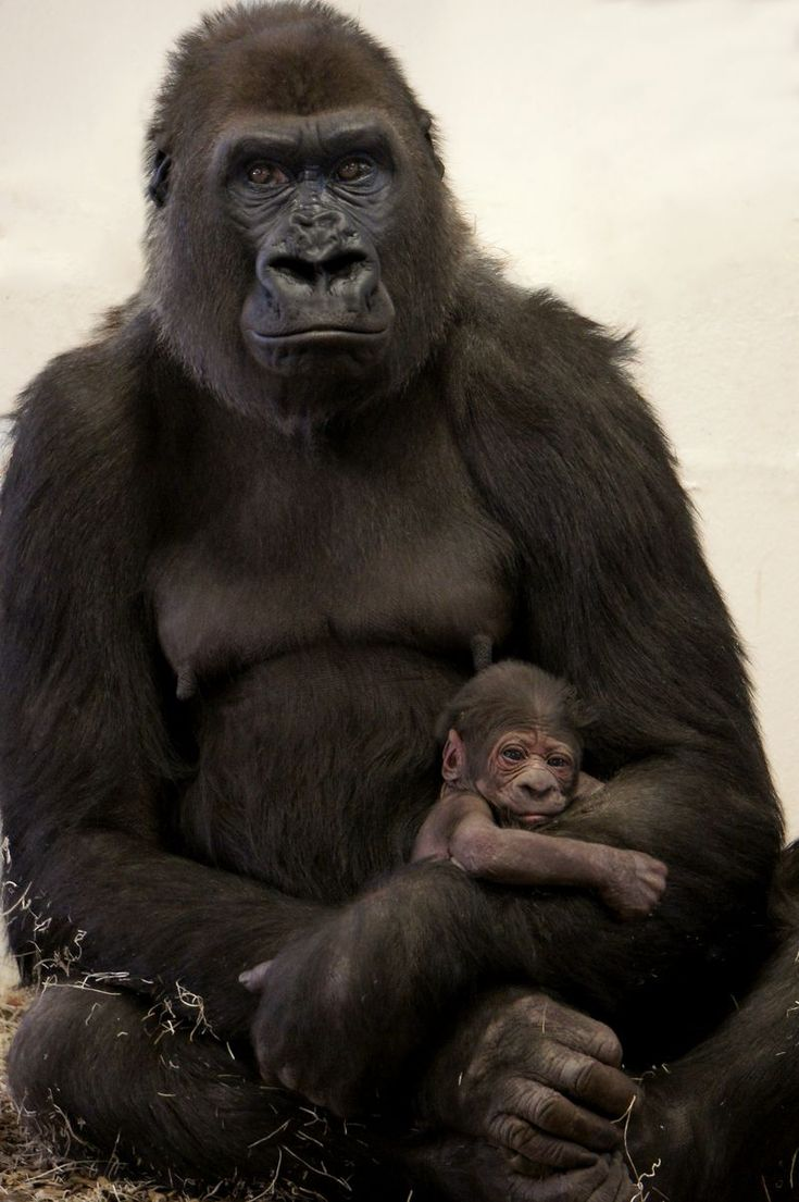 Como Zoo, in Minnesota, is thrilled to announce the addition of a baby Western Lowland Gorilla to its troop. The female gorilla was born in the evening hours of February 22, 2015, to first-time mother, 'Dara', inside the day room of the Gorilla Forest exhibit. At approximately five pounds at birth, the baby gorilla appears healthy and strong.
