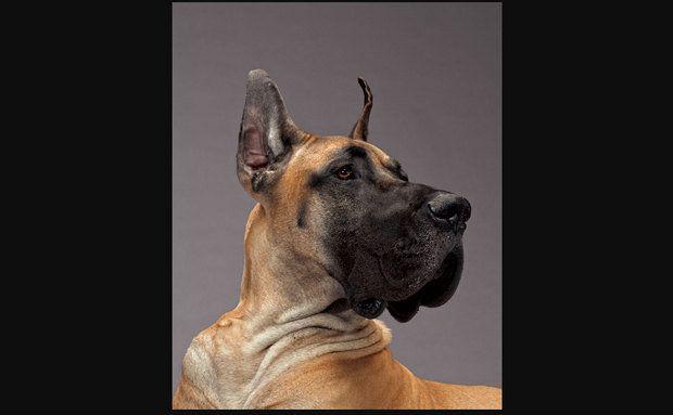 Cachorros:O imponente Cão Dinamarquês