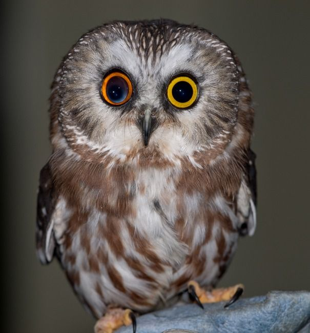 An owl with Heterochromia! Too cool! ^_^