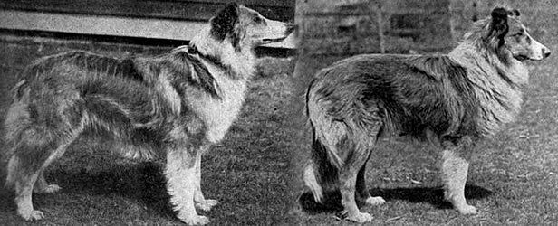 Scotch Collie - excerpted-from-poultry-topics-and-western-poultry-news-july-1907