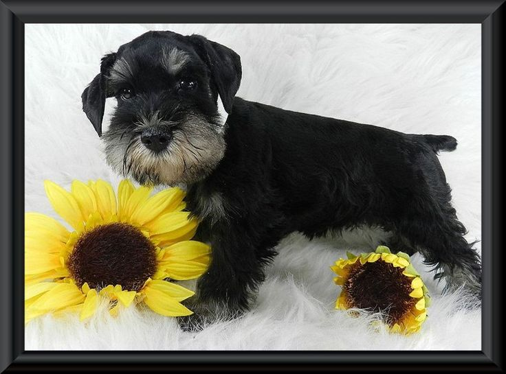 Read Our Testimonials: At MySchnauzerBabies Miniature Schnauzers we take GREAT pride in raising the very best miniature schnauzers in the world. Awesome temperaments, healthy, well-bred, beautiful, and intelligent are just some of the few reasons why people choose a Reberstein Miniature Schnauzer above all others.  But don't take our word for it, read our testimonials to see what our satisfied customers are saying about us. www.myschnauzerbabies.com