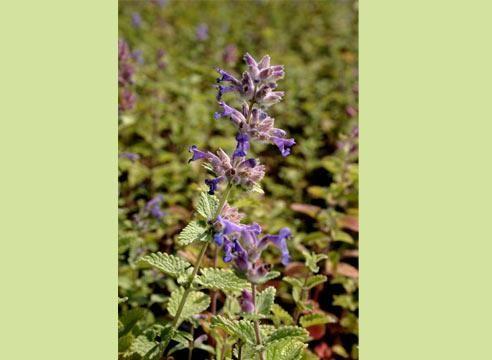 Пряные, ароматические и лекарственные растения для декоративного огорода
