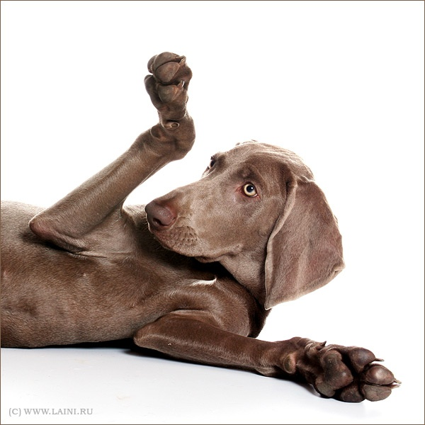 Weim.  Would you like a paw w/that?