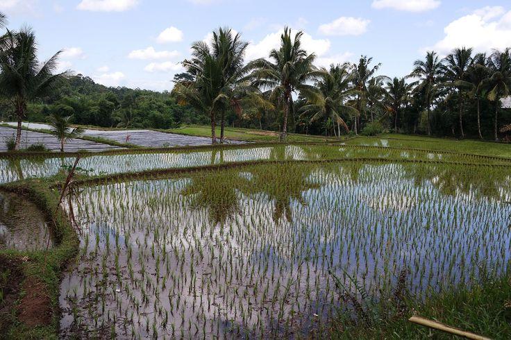 De splendides rizières et de nombreuses plantations.