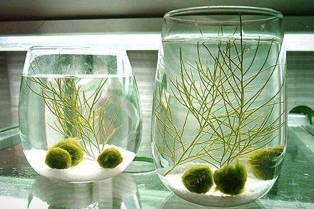 Japanese Marimo moss balls (http://en.wikipedia.org/wiki/Marimo)