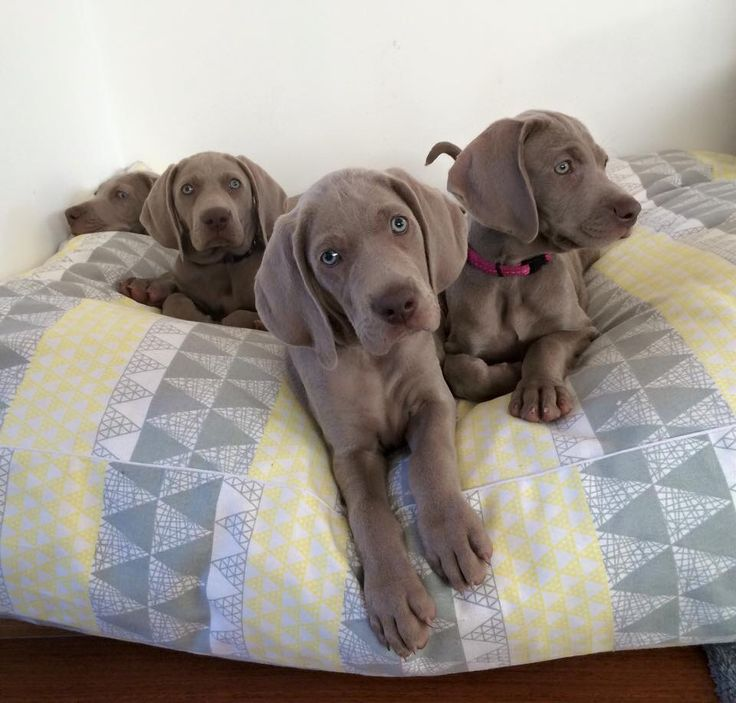 "Weimaraners...""smoother than a fresh jar of Skippy'"