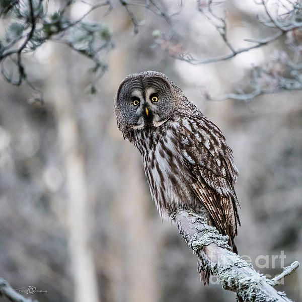 The Great Grey Owl perching on a pine branch a grey winter day