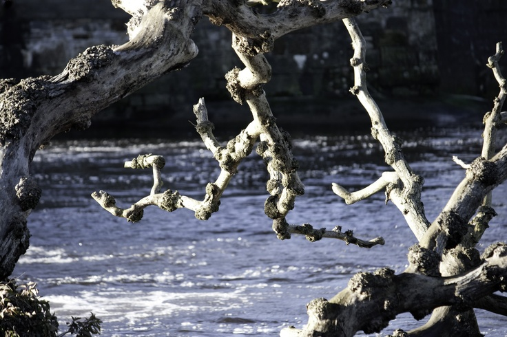 tree in the river ayr