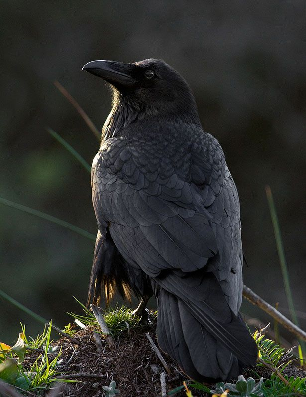 """It turns out that ravens make """"very sophisticated nonvocal signals,"""" according to researchers. In other words, they gesture to communicate. A study in Austria found that ravens point with their beaks to indicate an object to another bird, just as we do with our fingers. They also hold up an object to get another bird's attention."""