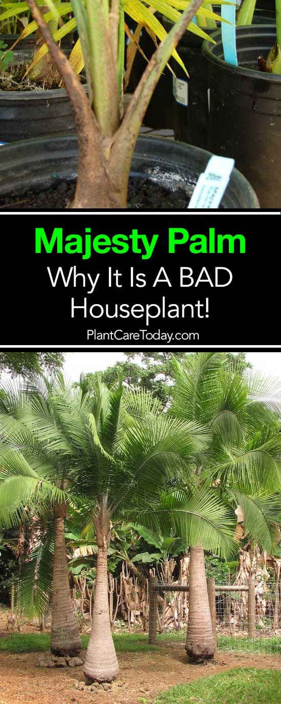 Why The Majesty Palm Is A Bad House Plant Or Indoor