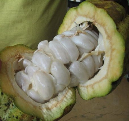 Pulpa sangat diperlukan dalam proses fermentasi biji kakao, tetapi keberadaannya yang terlalu berlebihan cenderung dapat menghambat proses fermentasi itu sendiri. Di samping itu, senyawa asam asetat yang dihasilkan secara berlebih sudah terbukti dapat menghambat pembentukan citarasa cokelat.