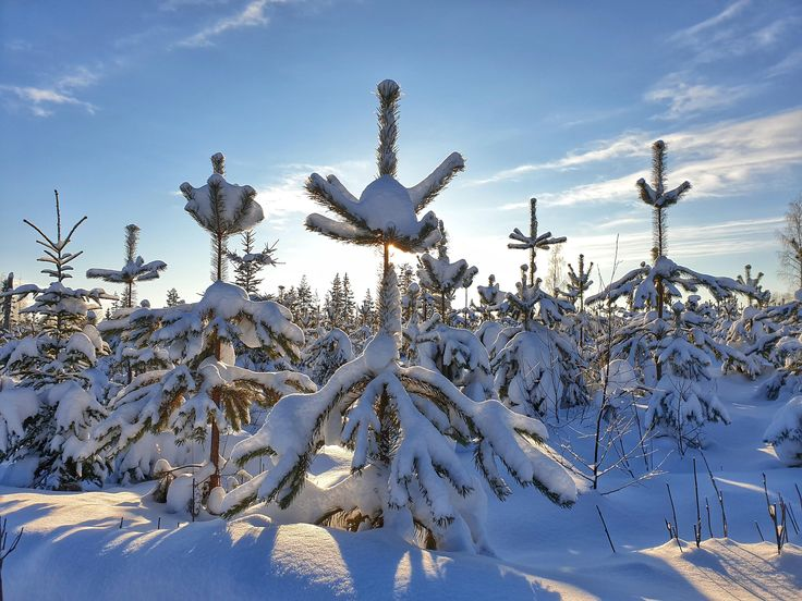 Snow-covered tree tops near Konnevesi Finland [OC]…