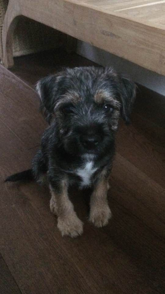 Basil the border terrier