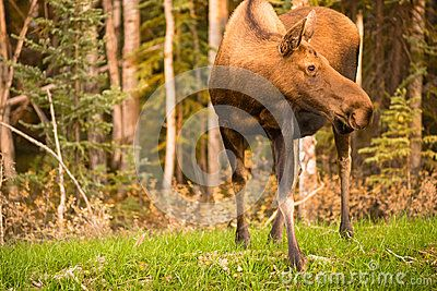 A female cow Moose takes a moment to pause checking surroundings while grazing