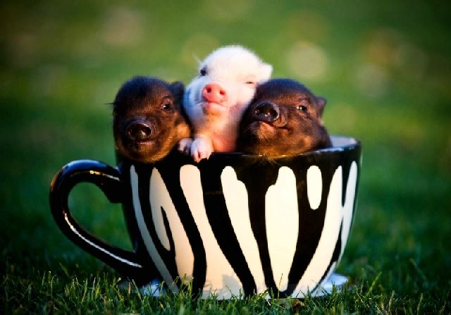 Specializing in Vietnamese Miniature Teacup Potbelly Pigs, Teacup Potbelly pigs and Micro pigs The most uniquely amazing pets ever Teacup mini pigs and miniature potbelly pigs online at http www HoneyIshrunkthePigs com