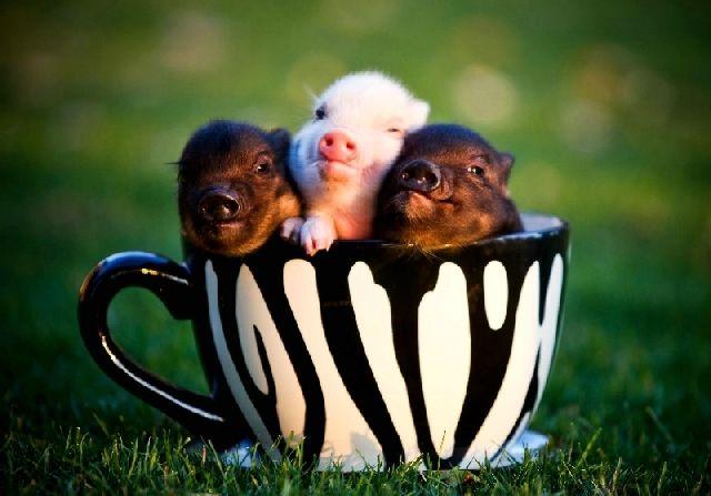 Conheça os Micropigs, os porcos do tamanho de um hamster que estão causando…