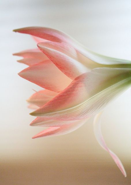 """""""Amaryllis""""Amaryllis is a small genus of flowering bulbs, with two species. The better known of the two, Amaryllis belladonna, is a native of the Western Cape region of South Africa, particularly the rocky southwest area between the Olifants River Valley to Knysna."""
