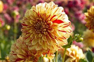 Gladiolen und Dahlien vorziehen: Erwachen die Knollen schon im März aus dem Winterschlaf, kann man zunächst Dahlien vorziehen statt pflanzen – ganz ohne Frost!
