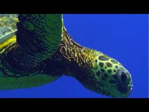An excellent educational video by SEE Turtles about sea turtle migrations including leatherbacks and loggerheads. Use with Apologia Swimming Creatures. #homeschool science http://shop.apologia.com/64-zoology-2