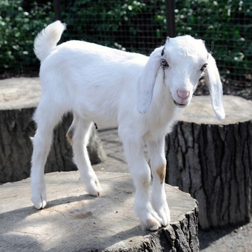 778 Best Goat Farm Images On Pinterest: 17 Best Images About Lambs On Pinterest