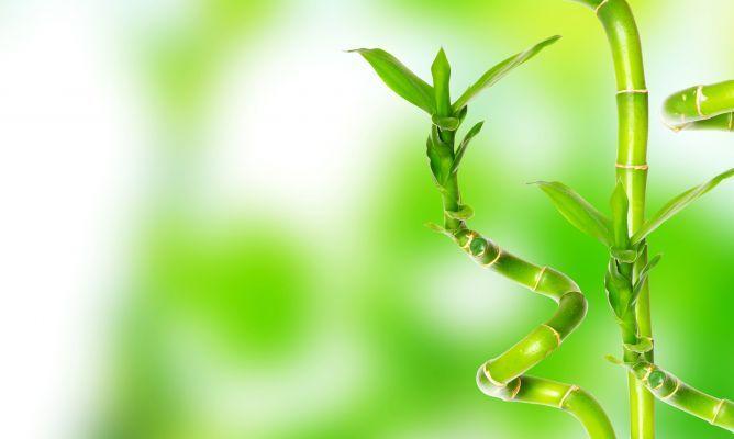 Como cultivar Bambu de la Suerte.