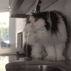 Persian cat drinking water