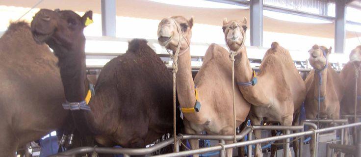 Sağmal develer için özel altlık ve yürüyüş yolları