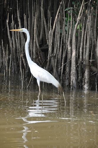 Egret on the Daintree River