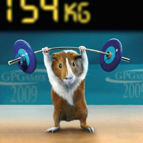 Guinea Pig Olympics ~ Weightlifting China Wholesale Electronics http://electronicproducts.gr8.com