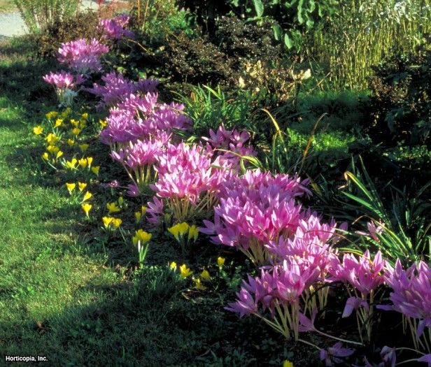 Image result for colchicum autumnale