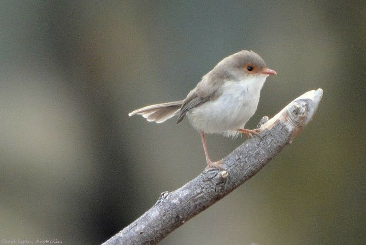 A female blue wren (jenny) perches on a twig.