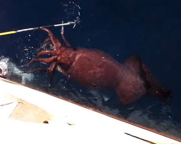 Colossal Squid Captured: Russian Fishermen Catches Giant Inkfish [VIDEO]